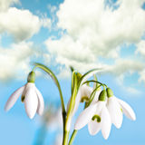 Snowdrop flowers Stock Photos
