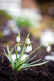 Snowdrop Flowers stock photo