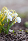 Snowdrop flowers. Snowdrop the first spring flowers Stock Photos