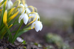 Snowdrop flowers. Snowdrop the first spring flowers Stock Images