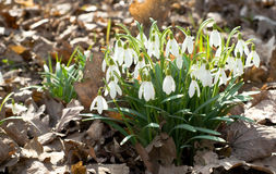 Snowdrop flowers. A couple of Snowdrops in a park Royalty Free Stock Photo