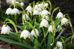 Snowdrop flowers. First spring snowdrop flowers in the garden Royalty Free Stock Image
