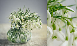 Snowdrop Flowers Royalty Free Stock Photo