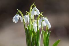 Snowdrop flowers blossom Stock Images
