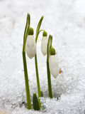 The Snowdrop flowers coming out from real snow Stock Photo
