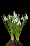 Snowdrop flowers Cut Out Stock Photos