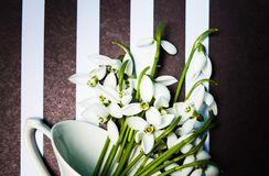 Snowdrop flowers on dark striped background Royalty Free Stock Photography