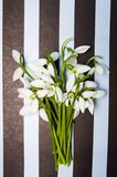 Snowdrop flowers on dark striped background Royalty Free Stock Images