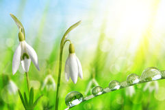 Snowdrop flowers with dewy grass Stock Images