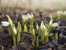 Snowdrop flowers in early spring stock photo