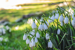 Snowdrop flowers and endemic diversity.  stock images
