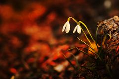Snowdrop flowers in the forest. Snowdrop flowers,red background,close up Stock Image