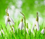Snowdrop flowers in grass on green natural bokeh background. Stock Image