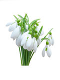Snowdrop flowers isolated Stock Photo