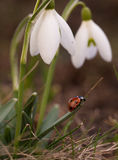 Snowdrop flowers with ladybug. Stock Photography