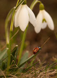 Snowdrop flowers with ladybug. Ladybug climbing on the top of snowdrop on the forest meadow. Warm colors Royalty Free Stock Images