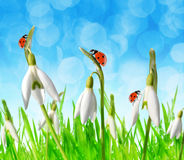 Snowdrop flowers with ladybugs in grass. Stock Images