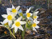 Snowdrop flowers, lumbago flowers in the forest in early spring.  Stock Images
