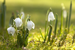 Snowdrop flowers in morning, soft focus Stock Photography