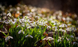 Snowdrop flowers in morning Royalty Free Stock Photos