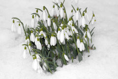 Snowdrop flowers on snow Stock Image