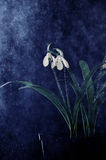 Snowdrop flowers sprayed with water. Snowdrop white flowers sprayed with water mist Royalty Free Stock Photos