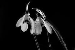 Snowdrop flowers sprayed with water. Snowdrop white flowers sprayed with water mist, isolated on black Royalty Free Stock Images