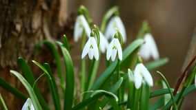 Snowdrop flowers in spring stock video footage
