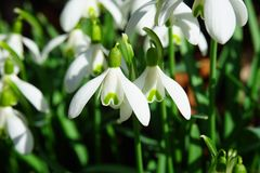 Snowdrop, Flowers, Spring Flower Royalty Free Stock Image