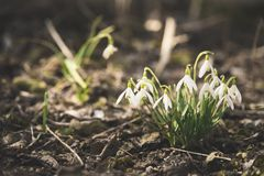 Snowdrop flowers in spring forest close up space for text royalty free stock photo