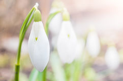 Snowdrop flowers in the sunlight Royalty Free Stock Photo