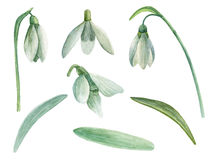 Snowdrop flowers vector. Hand drawn watercolor cliparts Stock Photo