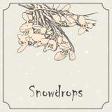Snowdrop flowers. Vintage grunge marriage design template, floral artwork. Vector illustration of summer concept for Stock Image