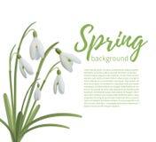 Snowdrop flowers  on white. Royalty Free Stock Photos