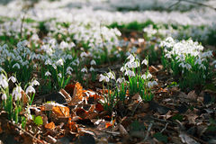 Snowdrop flowers  in  winter  forest Stock Photography