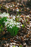 Snowdrop flowers  in  winter  forest  perfect for postcard Royalty Free Stock Photos