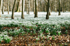 Snowdrop flowers  in  winter  forest  perfect for postcard Stock Image