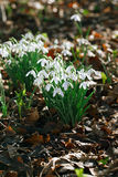 Snowdrop flowers  in  winter  forest  perfect for postcard Stock Images