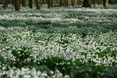 Snowdrop flowers  in  winter  forest  perfect for postcard Stock Photos