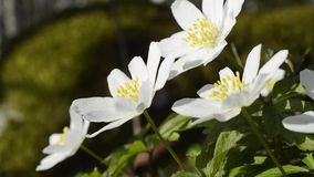 Wood anemones stock video