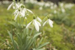 Snowdrop in focus background Stock Images