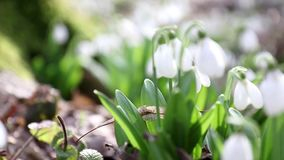 Snowdrop folded with water drops stock video footage