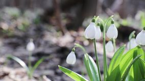 Snowdrop folded with water drops stock video