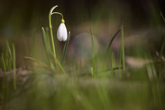 Snowdrop in the forest Royalty Free Stock Photos