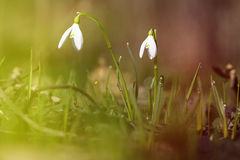 Snowdrop in the forest Royalty Free Stock Images
