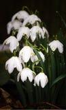 Snowdrop - Galanthus -属石蒜科-春天花 库存图片