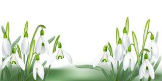 Snowdrop - Galanthus nivalis. Stock Image