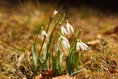 Snowdrop (Galanthus nivalis) Royalty Free Stock Images