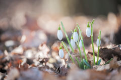 Snowdrop - Galanthus. The plants have two linear leaves and a single small white drooping bell shaped flower with six petal-like  tepals in two circles. The Royalty Free Stock Photos