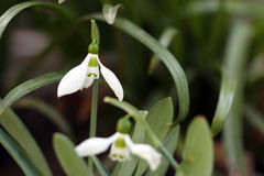 Snowdrop in grass Royalty Free Stock Image
